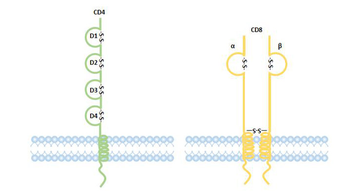 structure of CD4 and CD8 coreptor