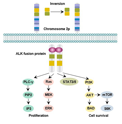 ALK-mediated signaling pathway