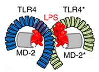 The structure of LPS-TLR4-MD-2 complex