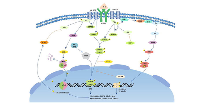 The picture of IL-6 signaling pathway