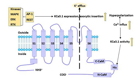 Figure 3 Regulatory factors of KCa3.1 channel