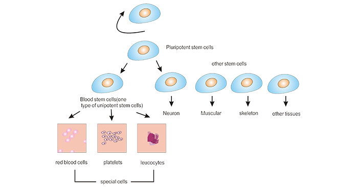 The relationship among three groups of stem cells