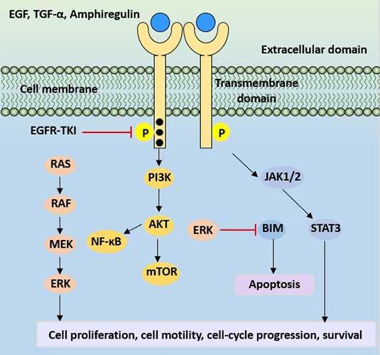 EGFR protein signaling pathway