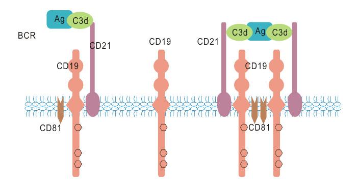 CD19 associated signaling complex