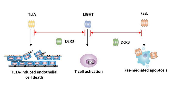 How does DcR3 inhibit apoptosis?