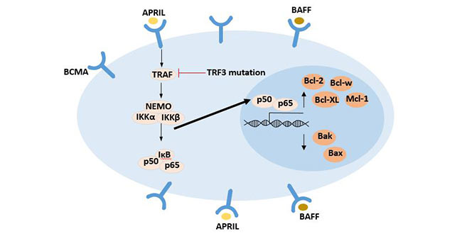 NF-κB signaling pathway activated upon BCMA ligand binding