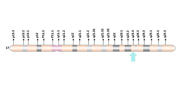 Localization of GH1 gene