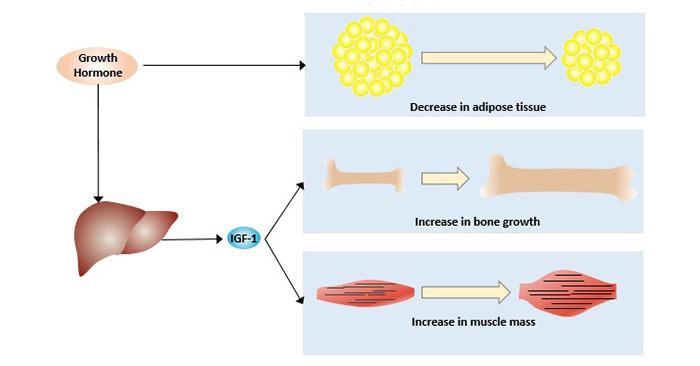 The function of growth hormone