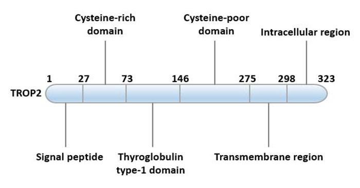 Structural characteristics of TROP2
