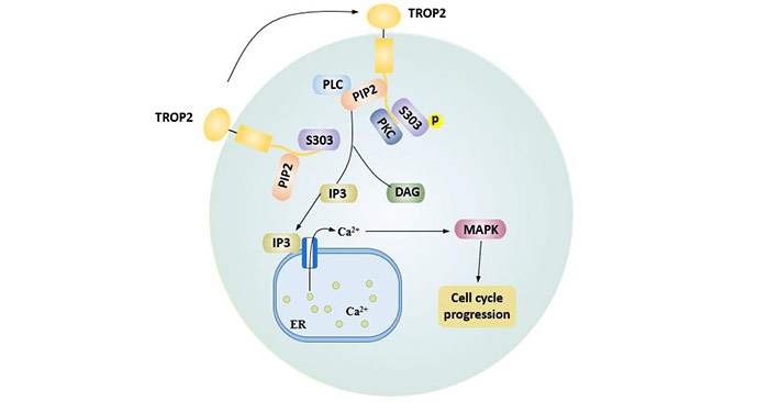 Cell cycle progression mediated by the PIP2 domain of TROP2