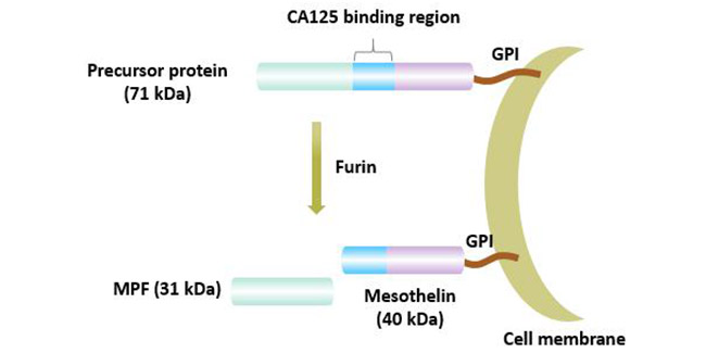 Mesothelin: A Rising Star of Cancer Immunotherapy