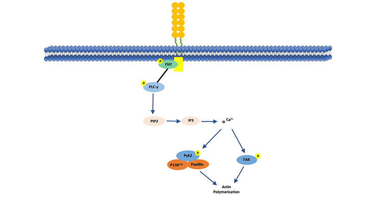 CD146 stimulates p125 (FAK) in human endothelial cells