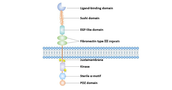 Structure of Eph receptors