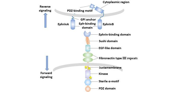 The bidirectional transmission of Eph/Ephrin signals