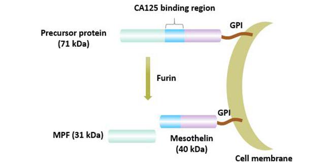 Maturation process of mesothelitin