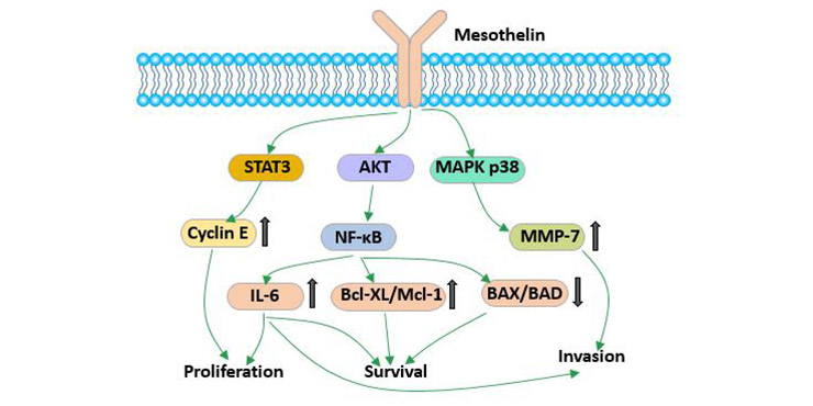 The biological function of mesothelin