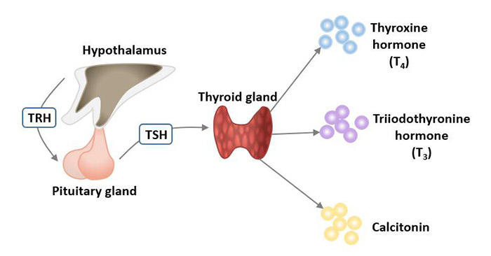 Hormones produced by the thyroid gland