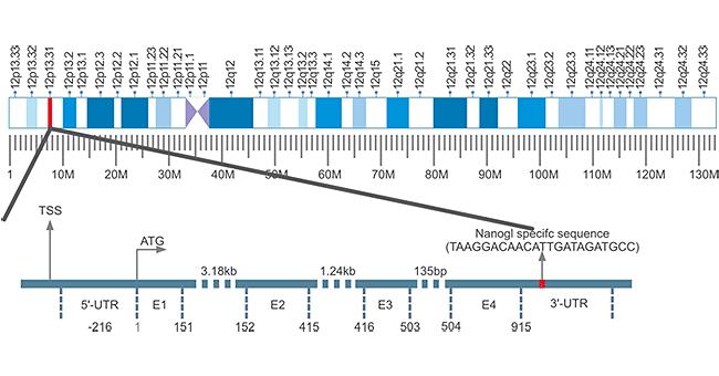 Homeobox Transcription Factor- NANOG