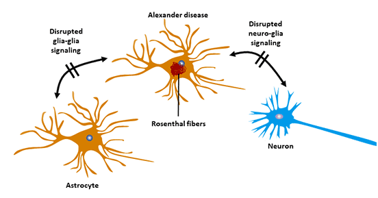 Astrocyte and Alexander's disease