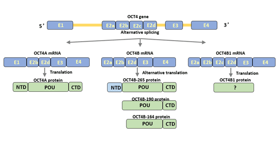 Structure of Oct4 isoforms