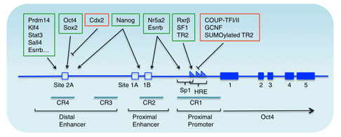 Genomic structure and transcriptional regulation of the mouse Oct4 gene