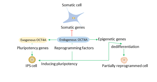 The role of Oct4 in reprogramming