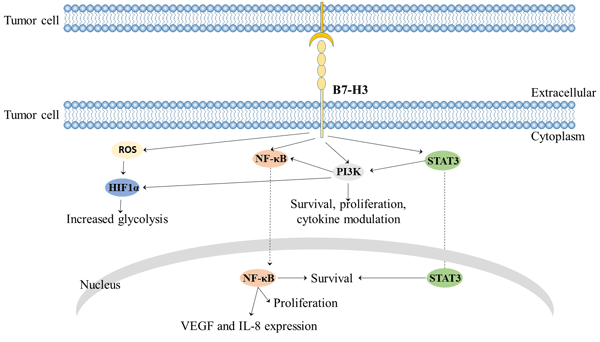 B7-H3 mediated signaling pathway