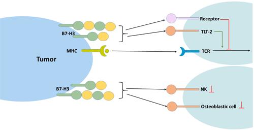 B7-H3 and immune response