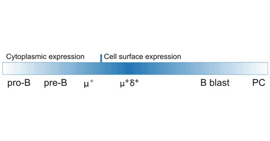 CD22 protein expression during B-cell development and activation