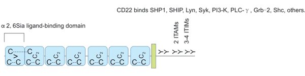 CD22 structure