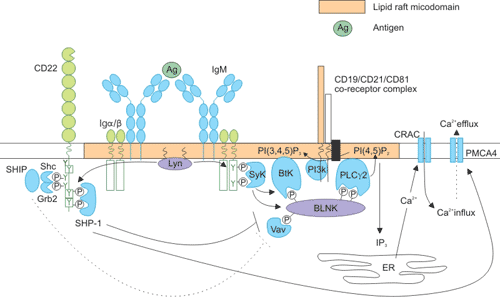Intracellular signaling pathways of CD22