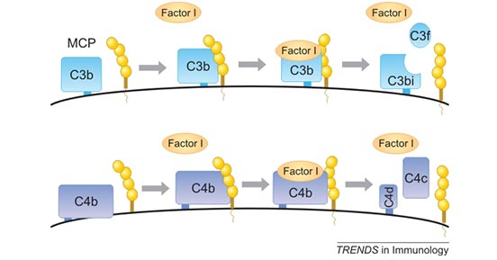 CD46 is a cofactor for the serine protease factor I to cleave C3b and C4b