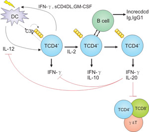 Regulation of adaptive T cell responses