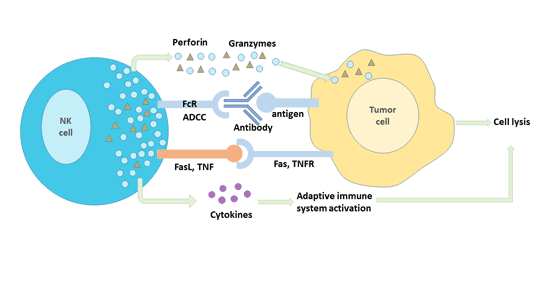 Anti-tumor immune mechanism of NK cells