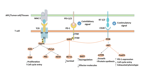 PD-L1/PD-1 signaling pathway