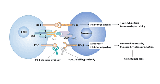 PD-1 / PD-L1 signaling pathway and tumor