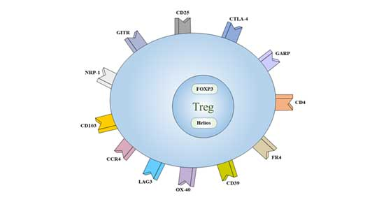 Cell markers of Treg