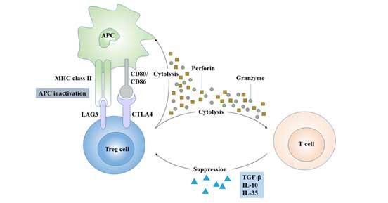 Regulatory mechanism of Treg cells