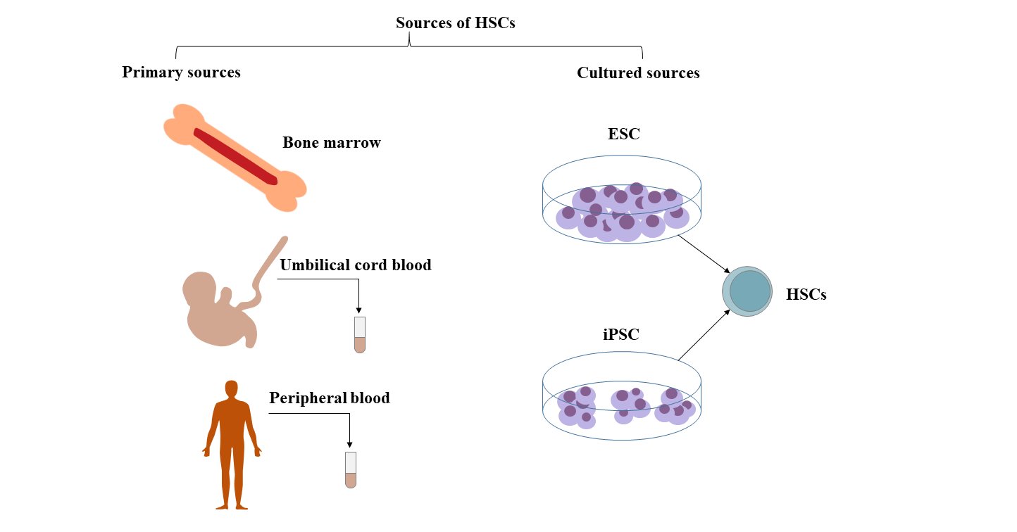 Hematopoietic Stem Cell Surface Marker