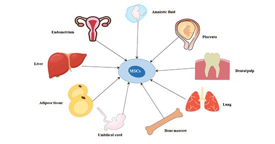 The origin of mesenchymal stem cells