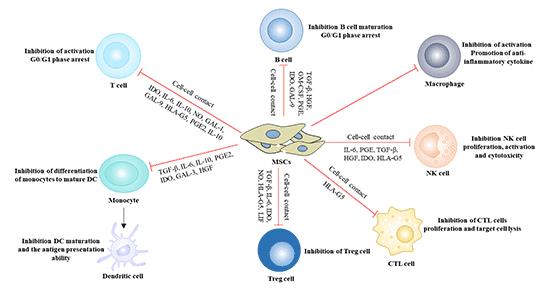 Immunomodulatory effect of mesenchymal stem cells