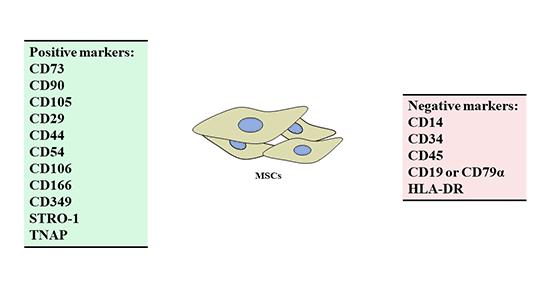 Positive and negative markers of mesenchymal stem cells (MSCs)