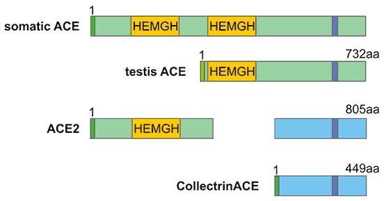 The structure comparison of ACE and ACE2
