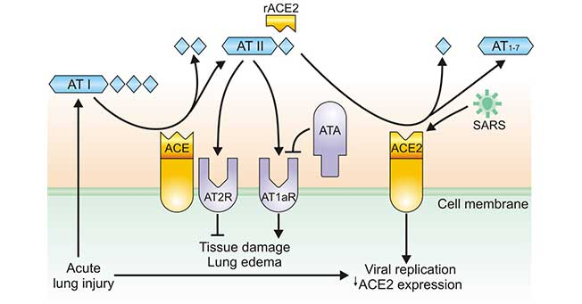 Regulation of ACE and ACE2 during coronavirus-induced lung injury