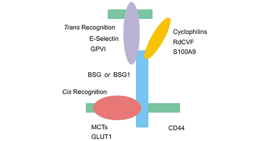 The two manners of recognizing various molecules of BSG or BSG1