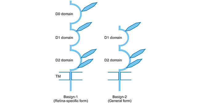 Schematic presentation of two BSG isoforms