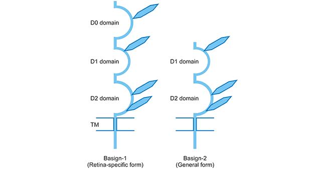 Schematic presentation of two BSG isoforms