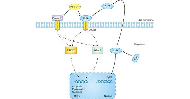 A proposed mechanism implicated in CyPA/CD147-mediated cell response in AKI