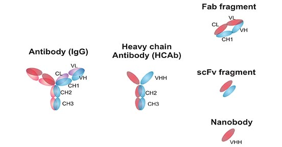 Structures and schematic representation of antibodies and antibody fragments
