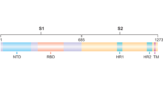 Schematic showing structural organization of SARS-CoV-2 spike protein